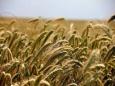 Прошедшие дожди спасли урожай