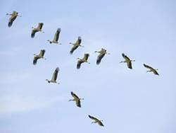 Перелетных птиц заметили в Брестской области